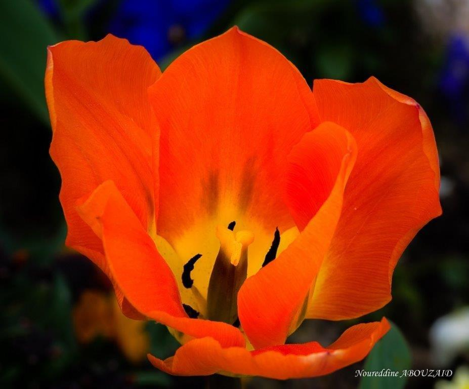 Tulipe - 1612